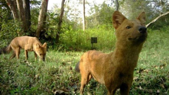 39++ Anjing hutan terbaru