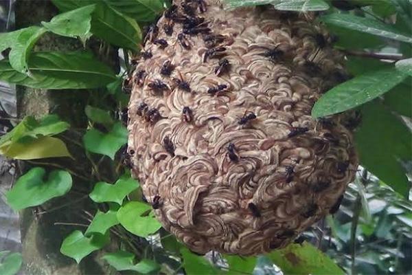 tawon vespa